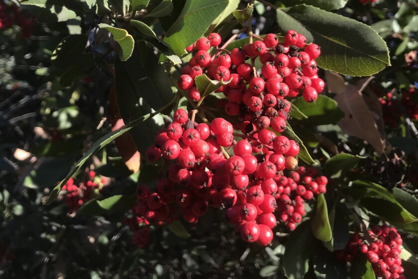Clusters of small red berries on a shrub.