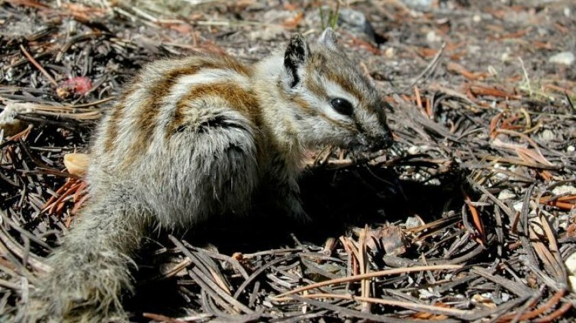 An alpine chipmunk, found only in the high elevations of the central and southern Sierra Nevada, has seen its natural range restricted by climate change.