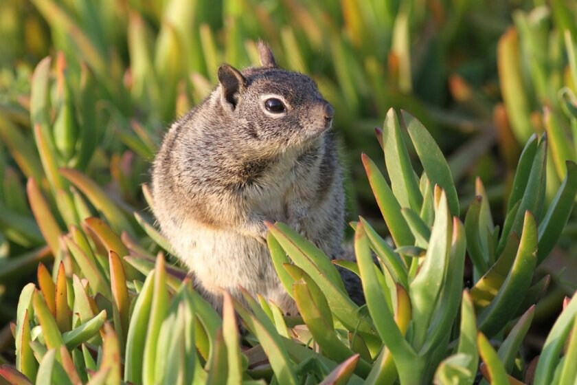 A ground squirrel stands motionless.