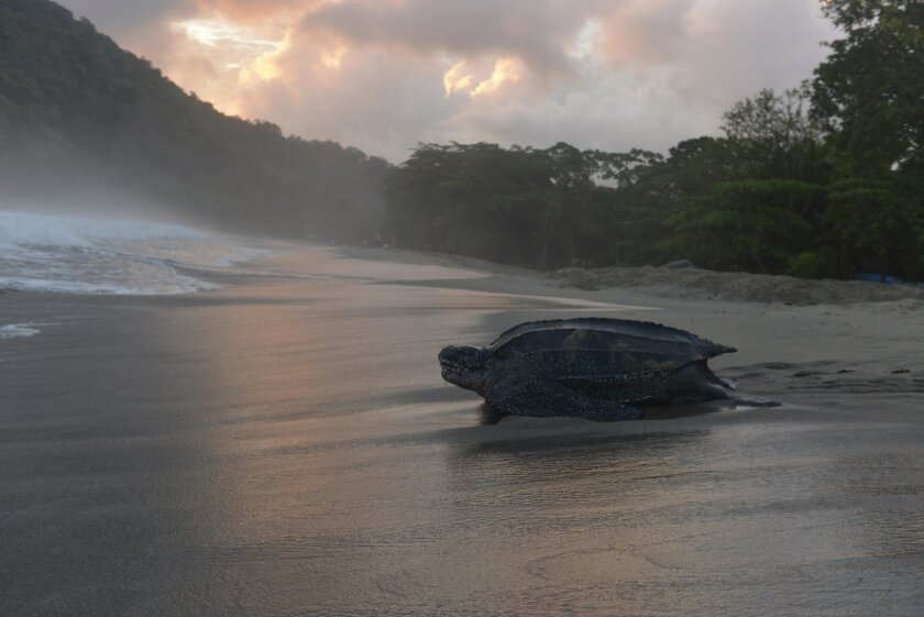 Leatherback turtles are ranked as one of eight marine species at greatest risk of extinction, according to the National Oceanic and Atmospheric Administration's National Marine Fisheries Service.