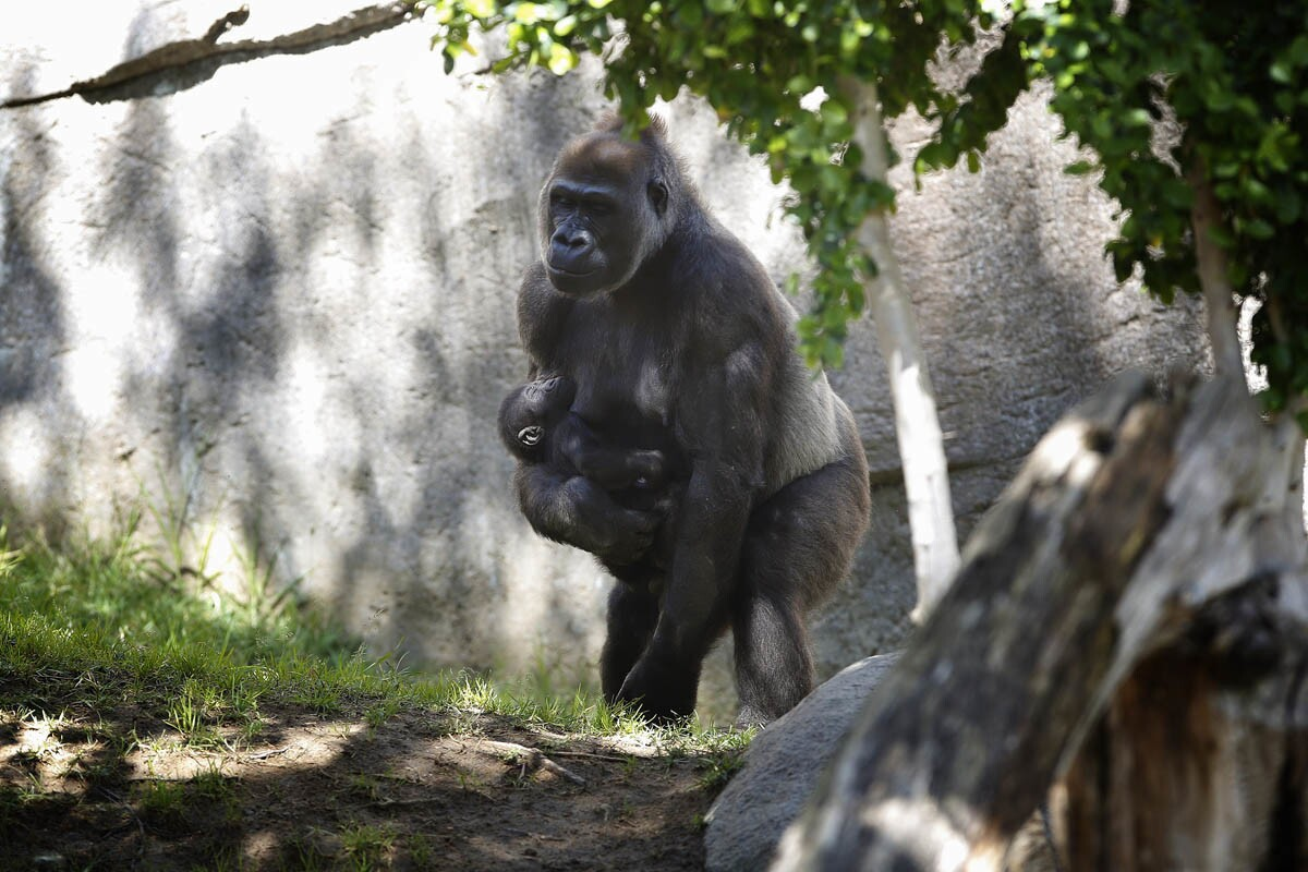 CHULA VISTA, CALIFORNIA, USA -- APRIL 6, 2017 MANDATORY CREDIT: PHOTO BY NELVIN C. CEPEDA, SAN DIEGO UNION-TRIBUNE Leslie a female western lowland gorilla sleeps as her mother, Kokomo holds her. Leslie was born last year on October 19th.