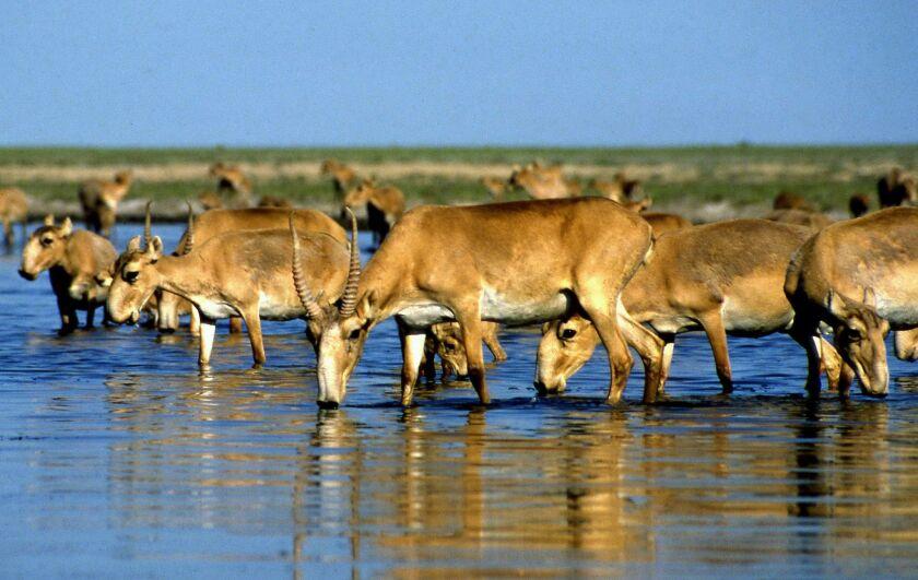 Saiga antelopes near Almaty, Kazakhstan, in this undated photo.