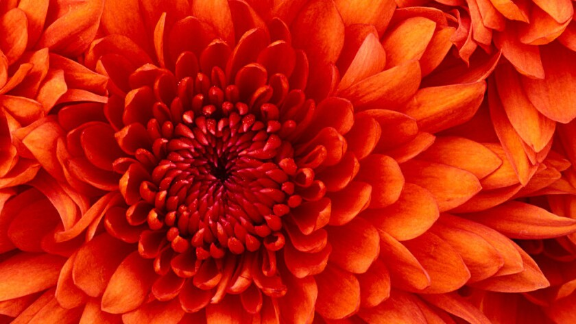 Chrysanthemums, the quintessential fall flower