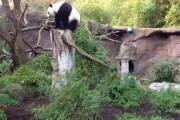 San Diego Zoo s baby panda