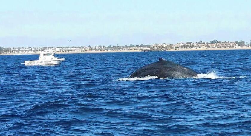Rescuers managed to cut away fishing line tangled around the tail of a humpback whale off the coast of La Jolla on Saturday.