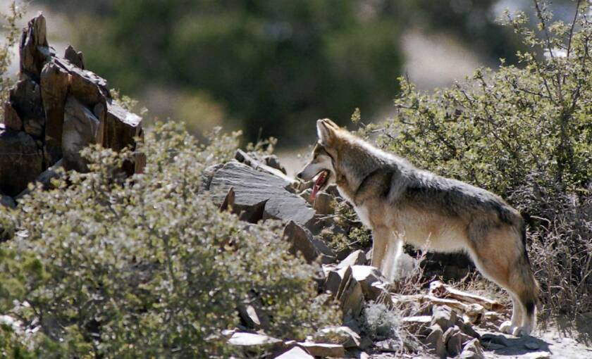 Wolf protection plan raises hackles in Southwest
