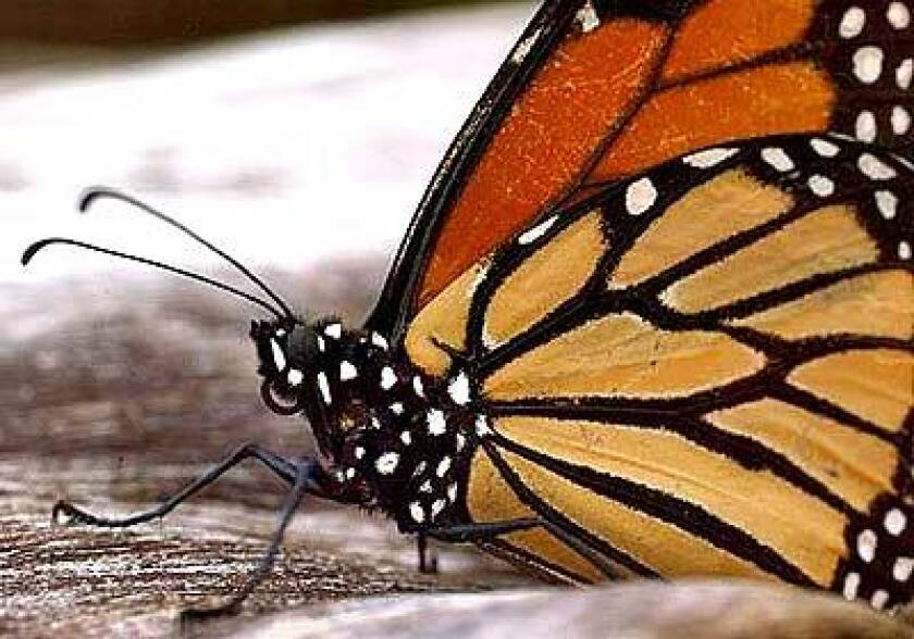 Monarch butterflies journey down the California coast to sites such as Santa Cruz. Their numbers peak in November and December.