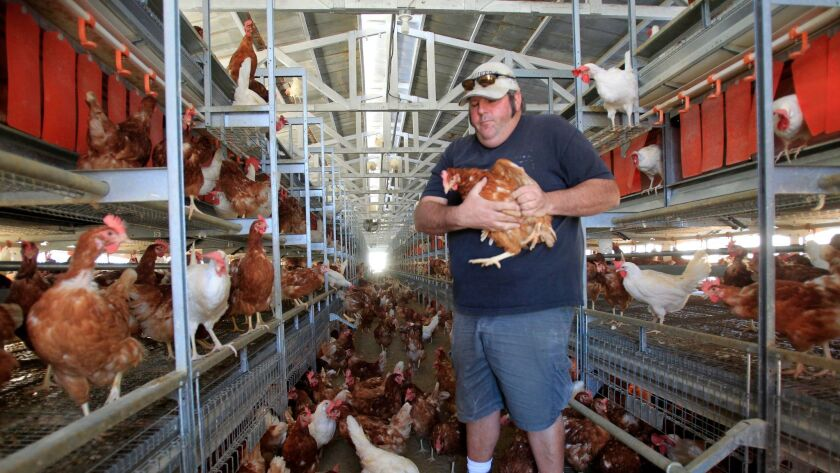 LAKEVIEW, CA DECEMBER 19, 2014: Third generation farmer, Frank Hilliker holds one of his 8,000 bro