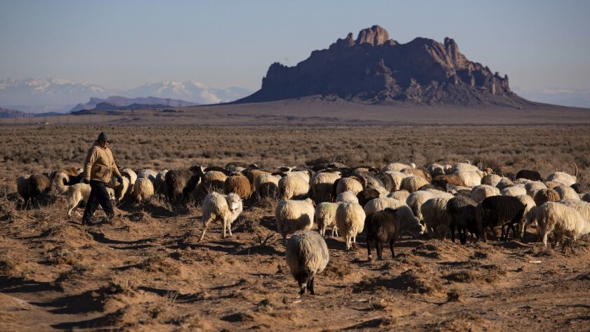 A Navajo woman herds her sheep near Two Grey Hills, N.M. The Navajo Nation has been hit hard by coronavirus infections. (Brian van der Brug / Los Angeles Times)