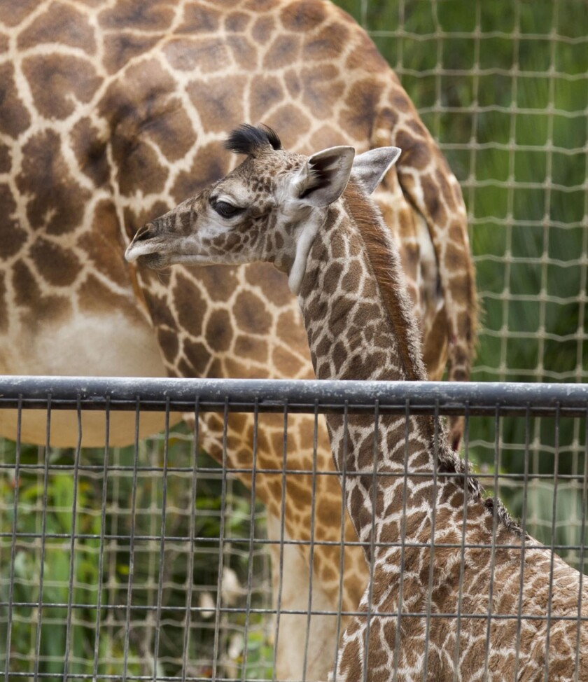 A 157-pound boy giraffe born Sunday was out on display at the San Diego Zoo on Monday in San Diego. His mother, Harriet, was with him in a corral sectioned off from the rest of the herd.