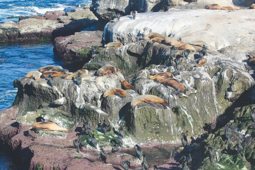 The 'Cove Stench' or continuing foul odor at La Jolla Cove is caused by sea lion and bird waste, according to City of San Diego officials. For years, sea lions have made the natural habitat of La Jolla Cove as their year-round home.