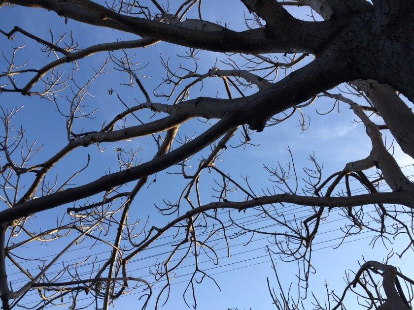 Our beloved tree, down to two (moribund) leaves.