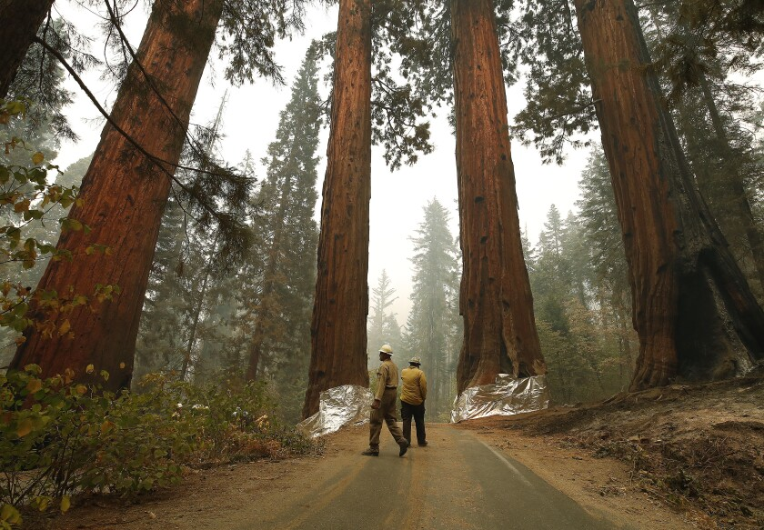 Two men in hard hats walk among giant sequoias