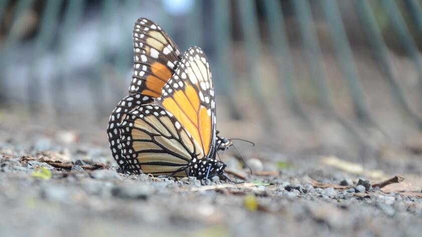 Monarch Butterfly Grove, Pismo Beach.