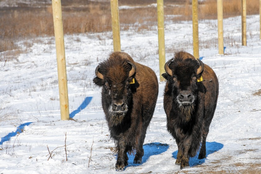 Wild bison are released at Fort Peck Indian Reservation in Montana after spending five years in quarantine to make sure they were free of the disease brucellosis.