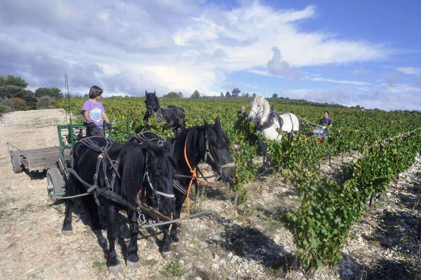 Harvesting grapes for Minervois wine in Massamier-la-Mignarde, close to Pepieux. This vineyard is traditionally harvested with horses to carry the grapes.