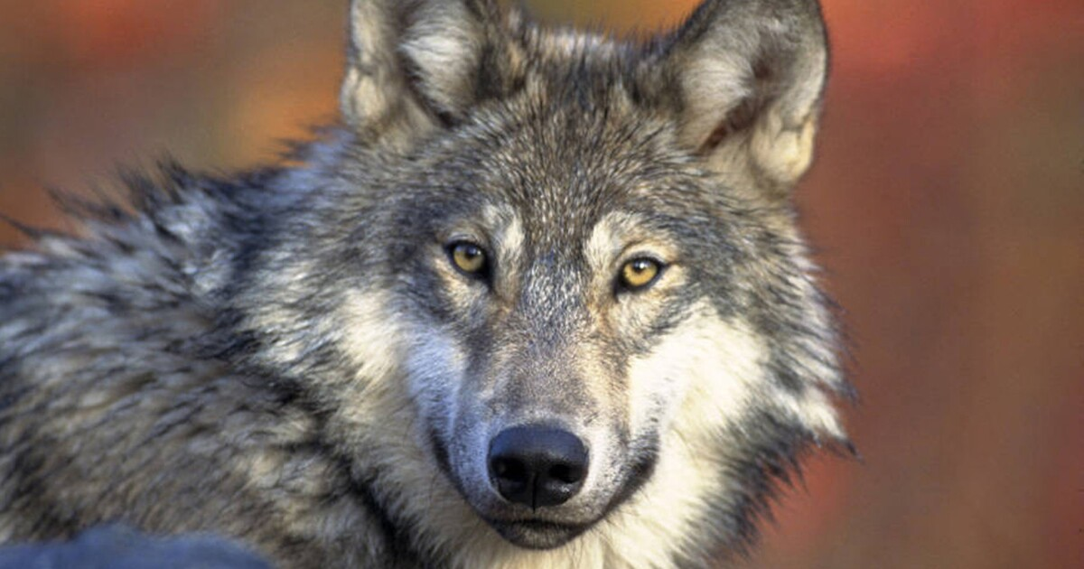 Trump administration drops gray wolf from endangered species list