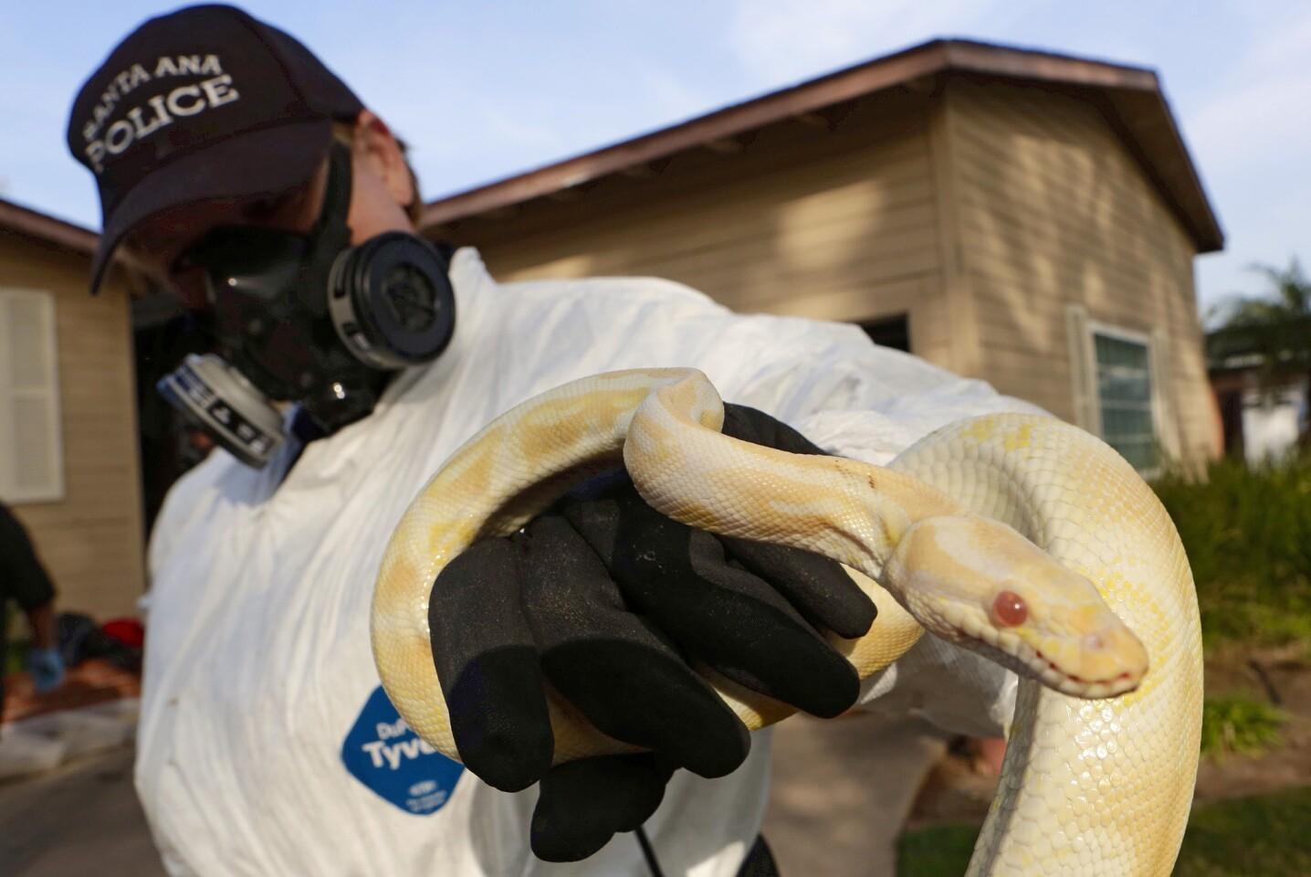 Santa Ana Police Animal Services supervisor Sondra Berg holds one of the living pythons found inside a Santa Ana home.