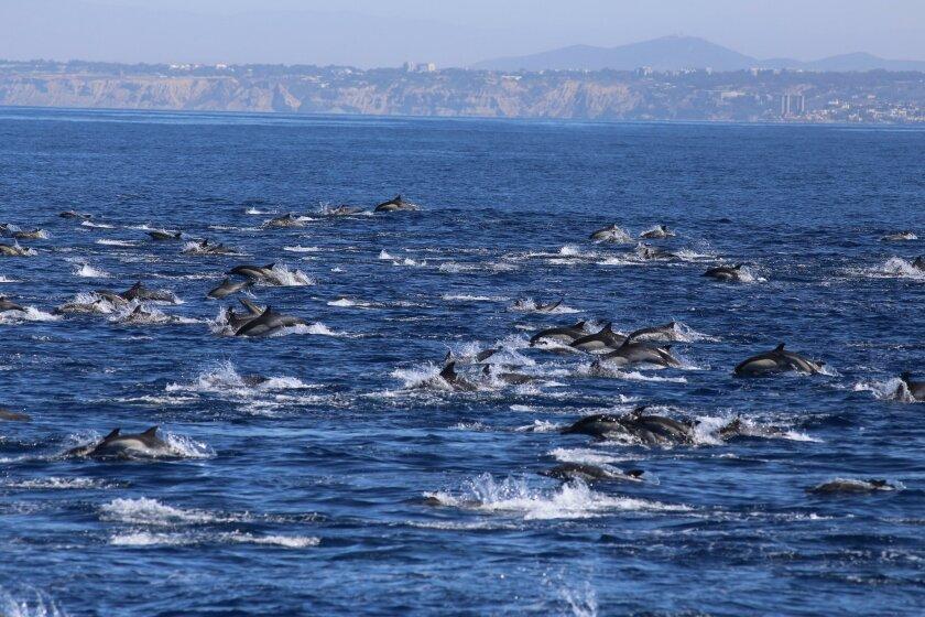 A megapod of common dolphins swims off the La Jolla coast.