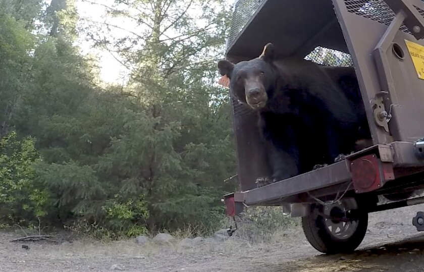 A 10-year-old black bear burned in the North Complex fire was released back into the wild.