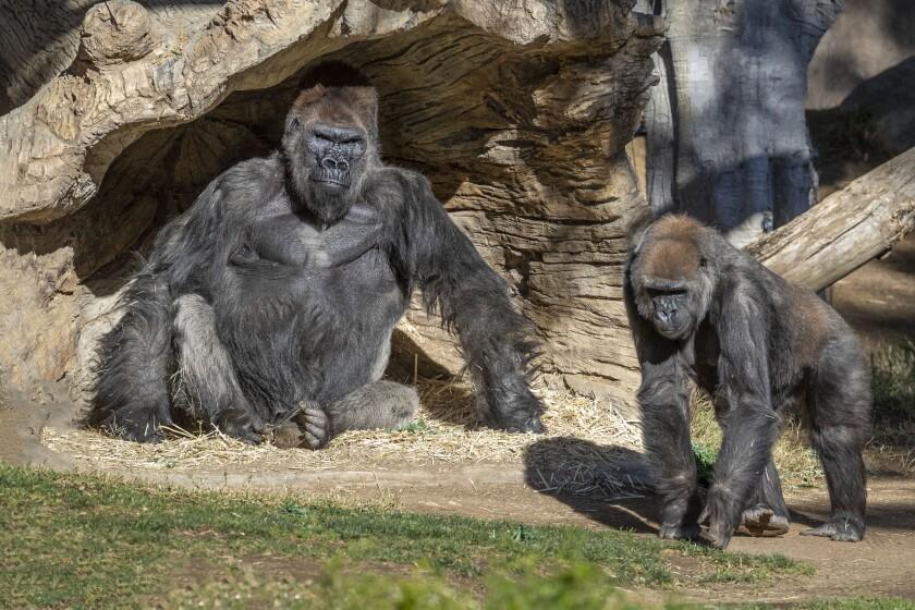 Gorillas at the San Diego Zoo Safari Park test positive for the conronavirus.