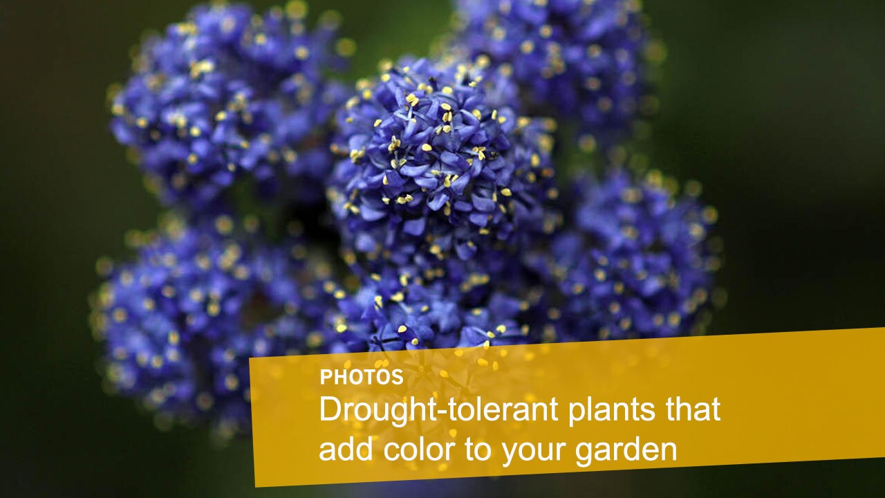 A drought-tolerant garden doesn't have to be dull. Take a look through this photo gallery of water-sipping florals that will add a pop of color to your eco-friendly garden.