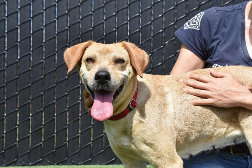 Taro, 3-year-old female Labrador retriever blend is looking to be adopted. She is at Helen Woodward Animal Care Center.