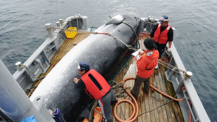 In this Sept. 2013, photo, a minke whale is unloaded at a port after a whaling for scientific purpos