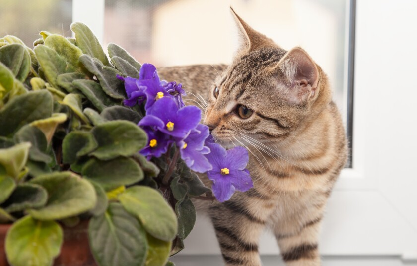A tabby kitten sniffs the blooms of an African violet, which is on the ASPCA's list of nontoxic houseplants.