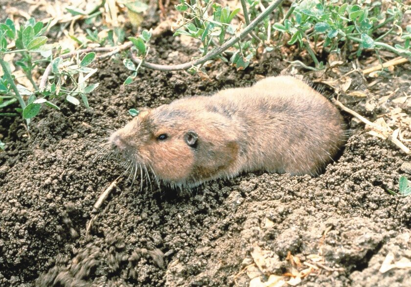 Natural predators can't keep up with the gopher population, and frightening devices are ineffective.