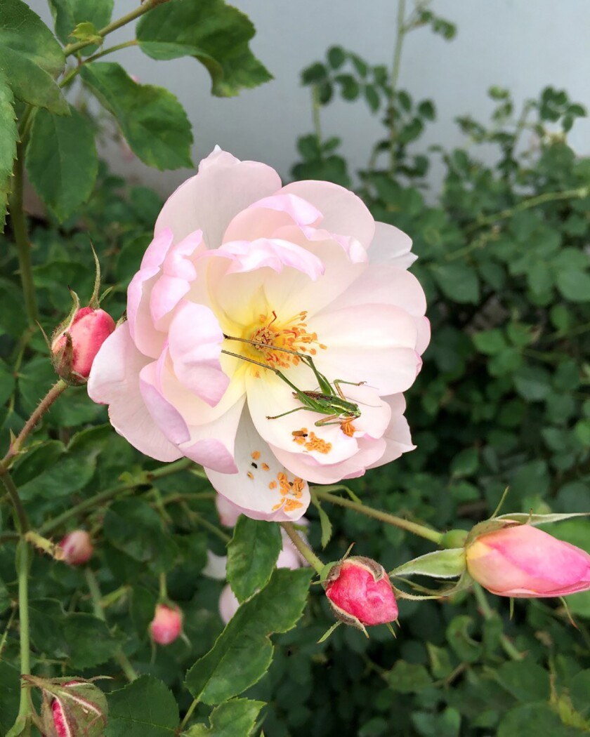 Grasshoppers can cause a lot of damage to roses. Here, a grasshopper rests on a David Austin 'Scarborough Fair' English rose.