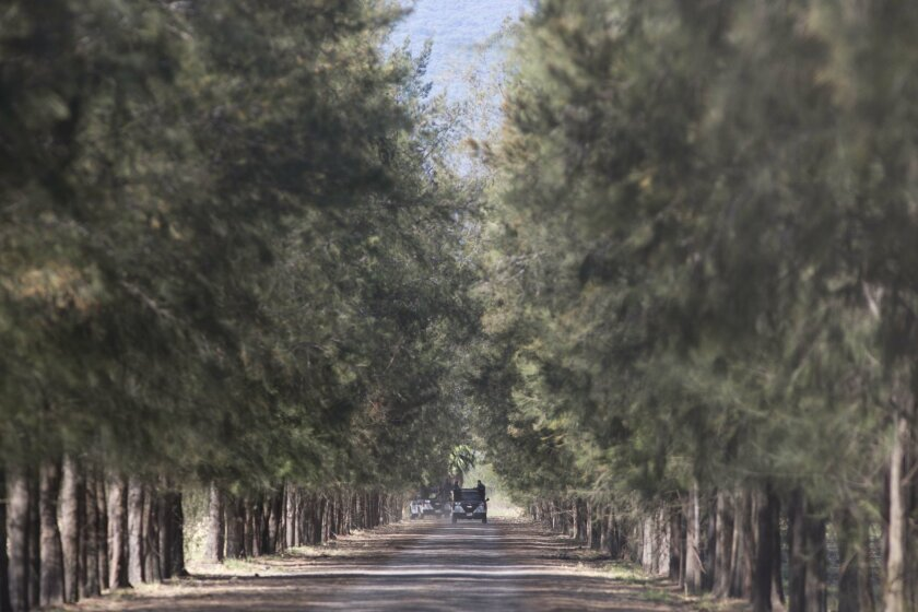 Police drive along a road inside the Rancho del Sol, a ranch that was the site of clashes between Mexican authorities and a drug cartel, in the municipality of Ecuandureo, Mexico, Saturday, May 23, 2015. The clash on Friday was the deadliest confrontation in recent memory, with 42 suspected gang gunmen and one Federal Police officer killed during a three-hour firefight. (AP Photo/Eduardo Verdugo)