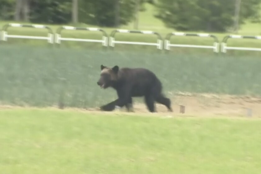 In this image made from a video, a brown bear runs on a field in Sapporo, northern Japan Friday, June 18, 2021. The wild brown bear on the loose all night in the city wounded four people, entered a military camp and disrupted flights at the airport Friday before being shot and killed by authorities. (NTV via AP)