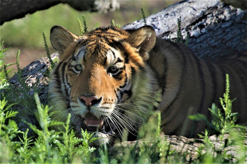 Maverick, a tiger rescued as a 9-month-old cub from a private collector.