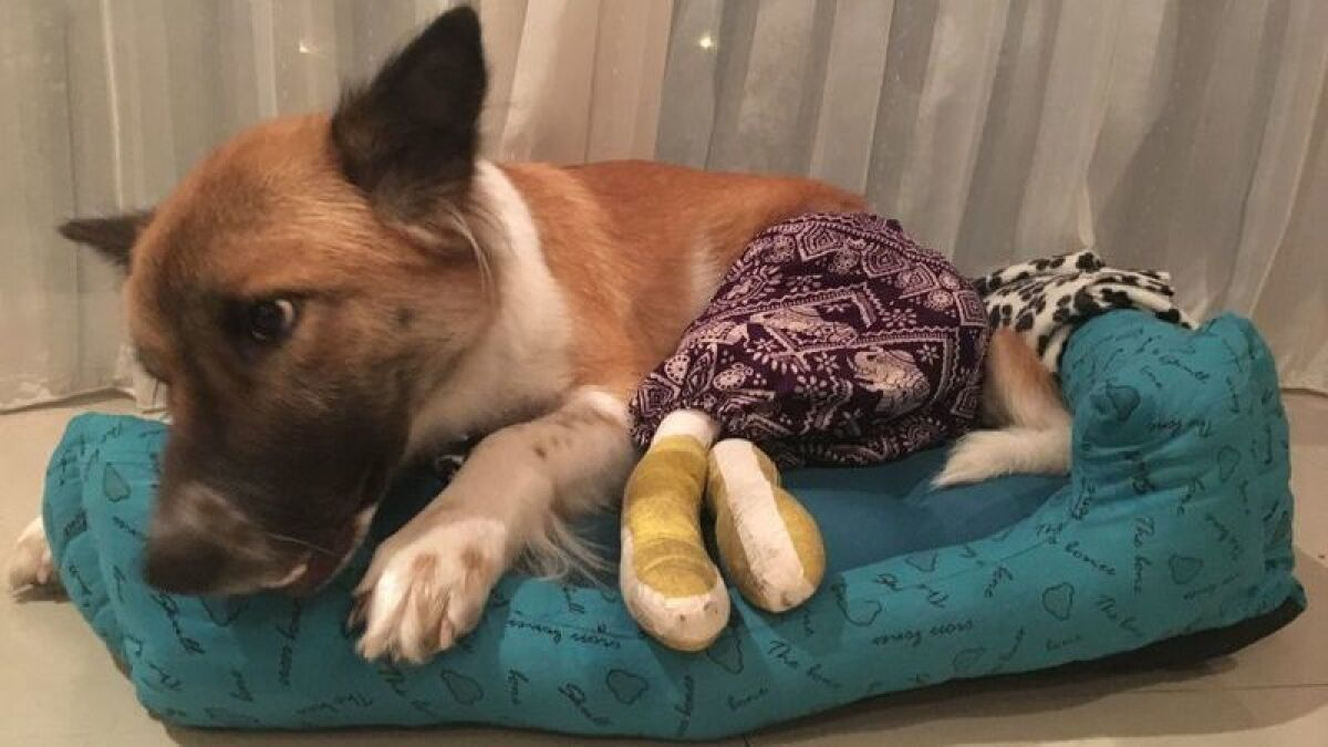 She had this fighter spirit': Dog finds forever home in Huntington
