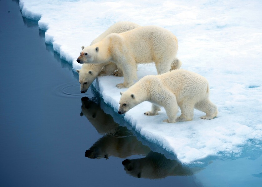 Polar Bears on the Franz Josef Land archipelago. Credit: Anthony Smith / Poseidon Expeditions