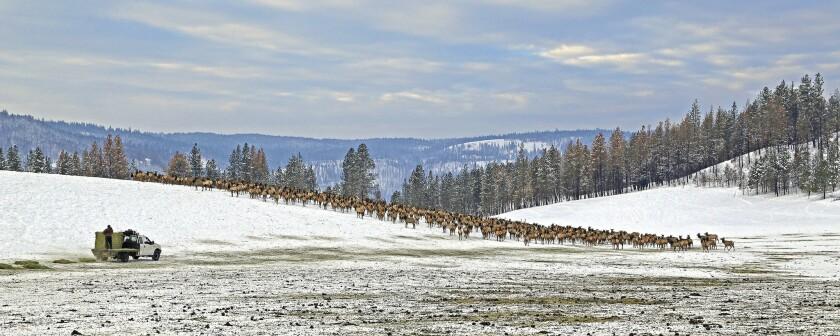 Elk feed at the Wenaha Wildlife Area near Troy, Ore.