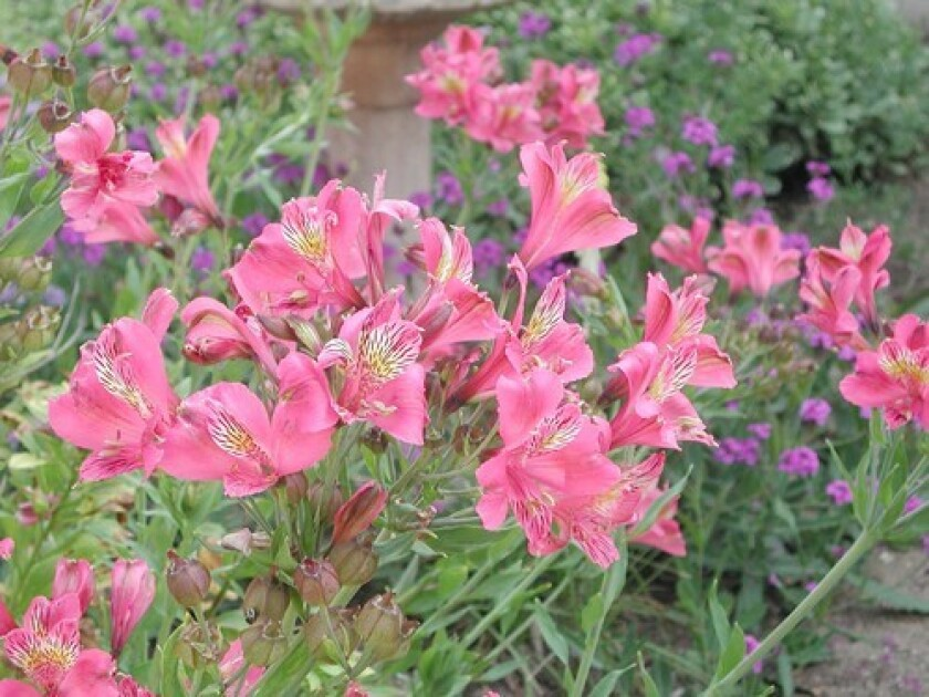 Though alstroemeria are available in stores year-round, the best time to plant is fall through early spring.