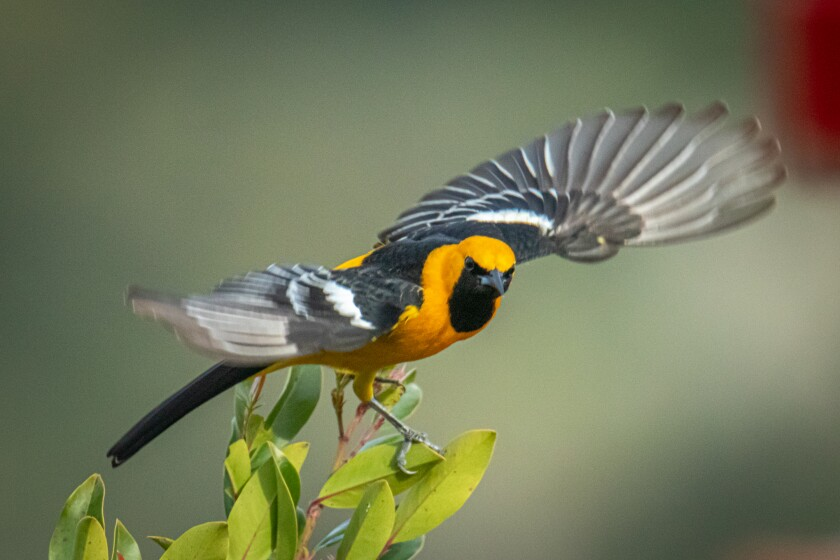 Residents are encouraged to share their images and videos of orioles on social media.