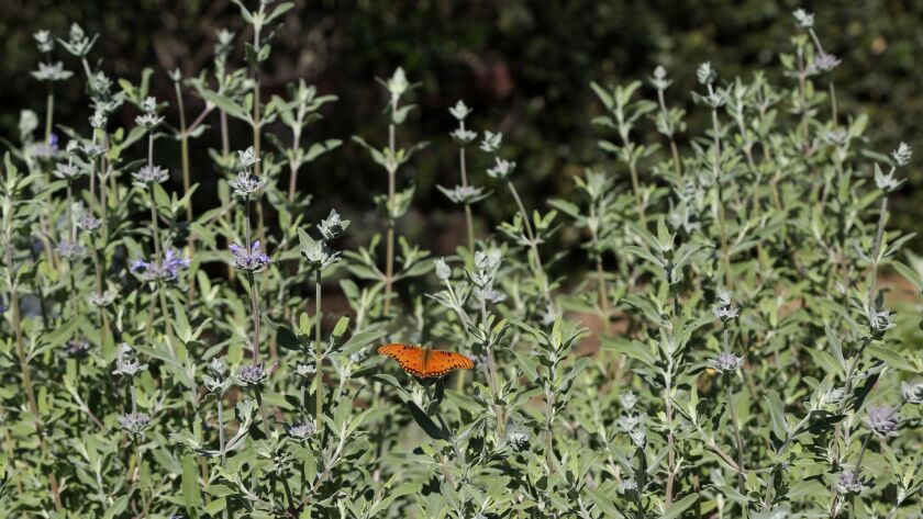 NORTHRIDGE, CA-March 28, 2018: A butterfly rests on sage growing int the large yard of DiAnna and Ph