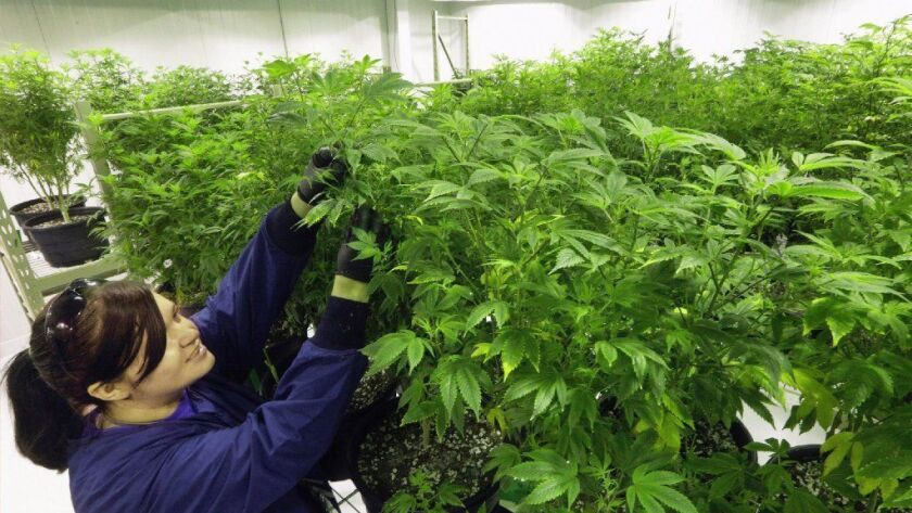 Ashley Thompson inspects marijuana plants Sept. 15, 2015, at the Ataraxia medical marijuana cultivation center in Albion, Ill. Ataraxia, which has three dispensaries in Illinois, is part of Verano Holdings, which has raised $120 million to fund expansion.