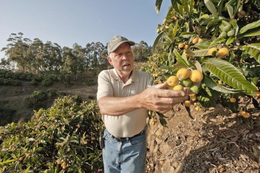 Dwight Landis grows loquats in Malibu.