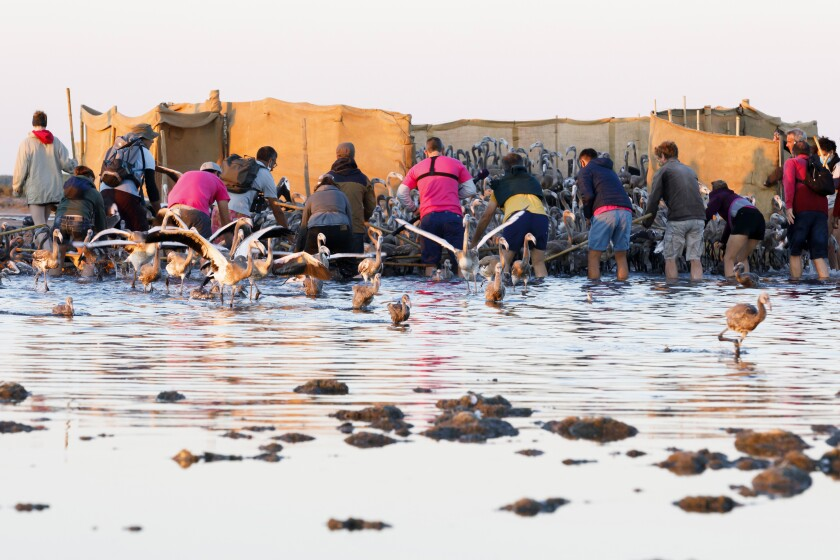 In this Wednesday, Aug. 5, 2020 photo provided by Salins de Camargue, flamingo experts surroung babies pink flamingos in Aigues-Mortes, the Camargue region, southern France, to gather and put bands on baby birds so scientists can track their migration. The numbers of pink flamingos may be the highest since experts began keeping records 45 years ago, said Thierry Marmol, guardian of the lands. France's two months of strict confinement may well be the reason. (Fabrice Pavanello, Salins de Camargue via AP)