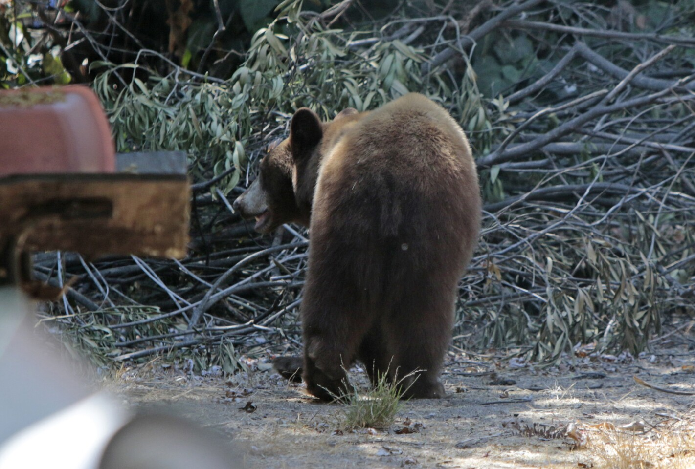 A bear cub, which was spotted roaming around a Monrovia neighborhood less than a half-mile from the Angeles National Forest in July 2014.