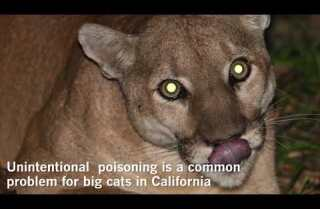 Remains of mountain lion P-41 tested positive for rat poisoning