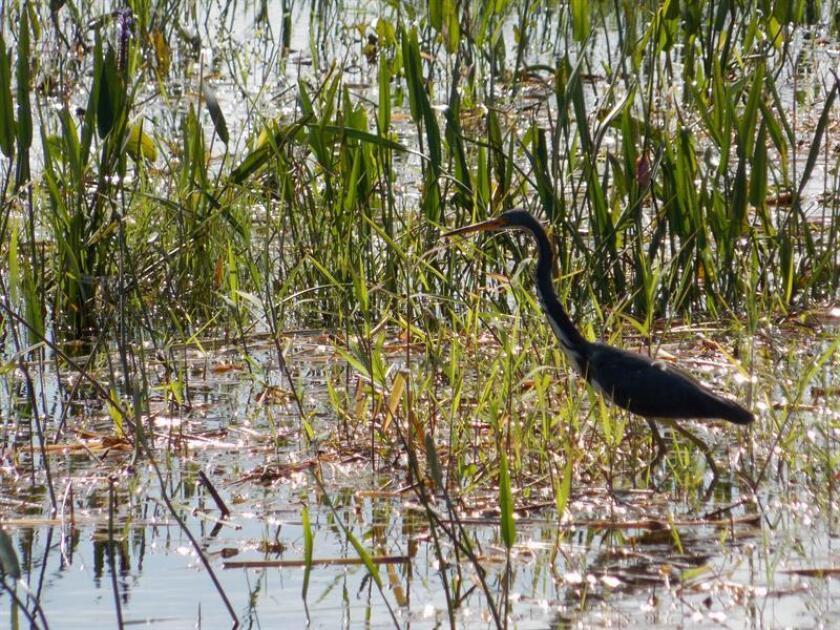 Más de un centenar de aves silvestres que habían sido ilegalmente atrapadas en el sur de Florida por una red de contrabando, y por medio de sofisticadas técnicas, fueron liberadas hoy en el Parque Nacional de los Everglades. EFE/Archivo
