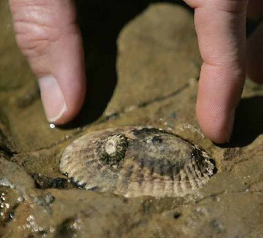 Cabrillo National Monument volunteers helped count and catalog limpets in the park's tide pools yesterday. (Nancee E. Lewis / Uhion-Tribune)