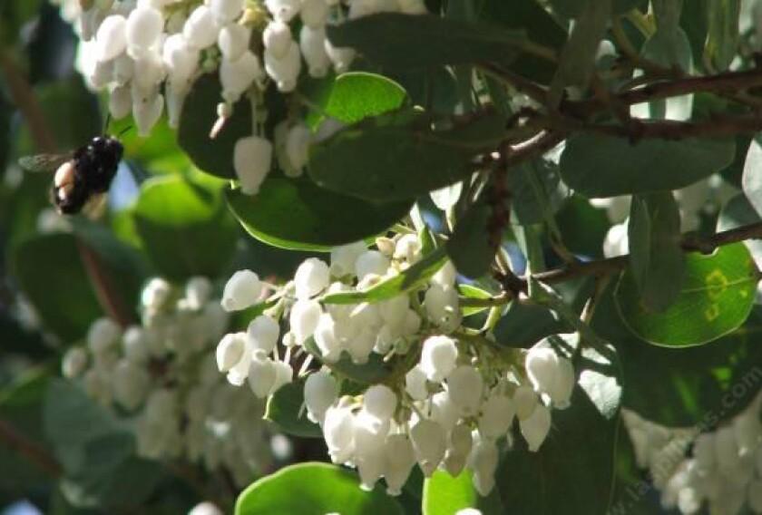 Arctostaphylos_manzanita_Dr_Hurd_Manzanita_Tree-4.jpg