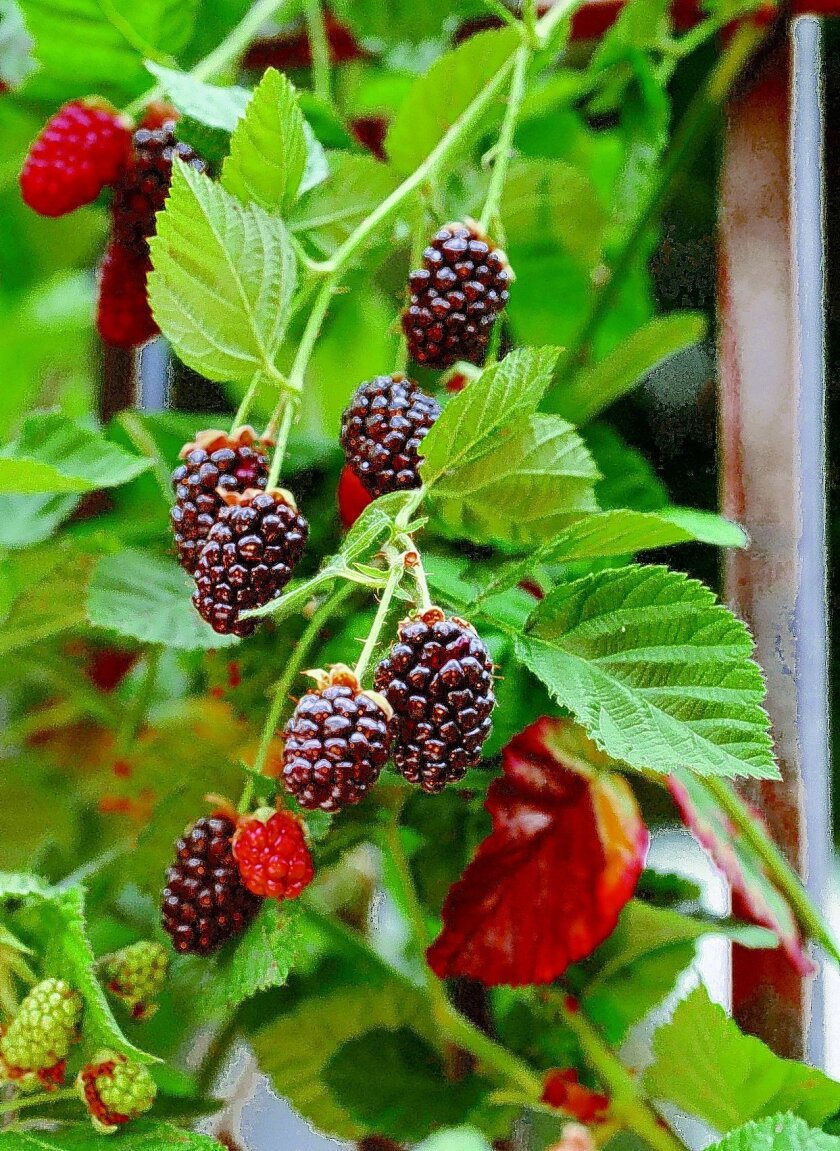 Upright blackberry varieties, like Apache and Navaho, are garden space-savers.