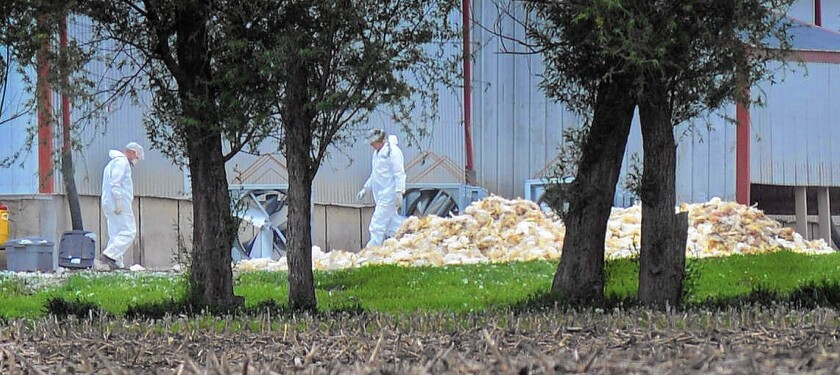 Workers load dead poultry to be buried at Rose Acre Farms west of Winterset, Iowa.